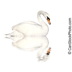 Mute swan. Isolated over white