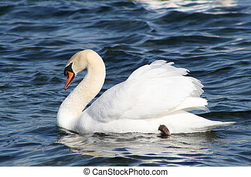 Mute Swan - mute swan in classic pose.