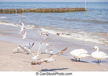 Mute Swan on the beach in Kolobrzeg.