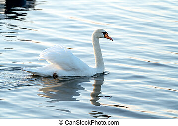 Mute swan on the water