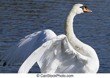 Mute Swan on the water with wings open