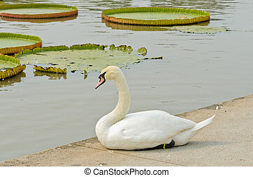 Mute Swan sitting on pond edge