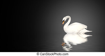 Mute swan on black background
