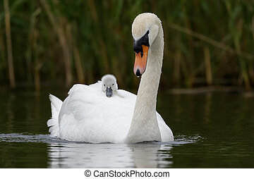 Mute Swan with cygnet - An adult Swan carries her young...