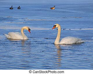 Mute Swans (Cygnus olor) - Illinois