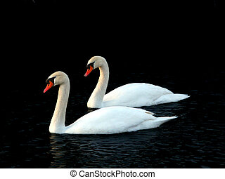 Two Mute Swans (Cygnus olor) float through icy waters in central Illinois.