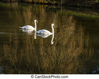 Mute swans, Cygnus olor, on a pond in winter