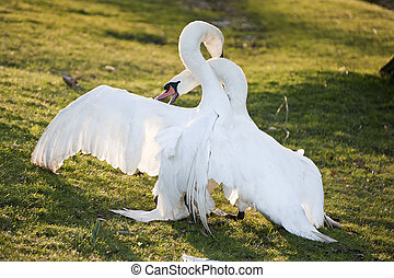 Mute swans display aggressive and tender behaviour during...