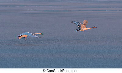 Mute swans flying over the lake Balaton in winter