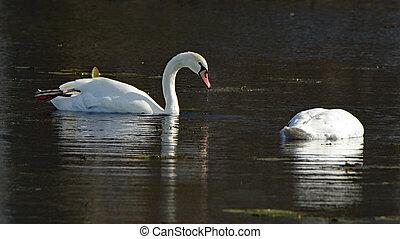 Mute swans on a dark pond