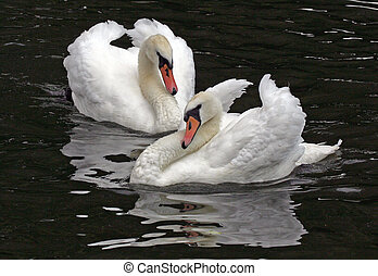 Mute Swans - Two Mute Swans squaring up