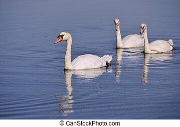 Mute swans swimming - Three wild Mute swans (Cygnus olor) ...