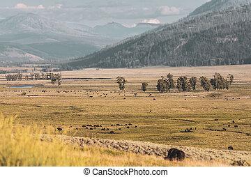 Muted Colors of Bison Herd in Hayden Valley