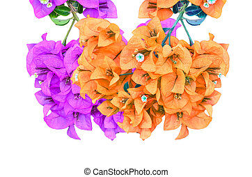 Flowering bougainvillea - Muti color Flowering bougainvillea...