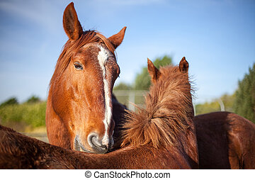 Mutual grooming in chestnut horses. Affectionate social animal behviour