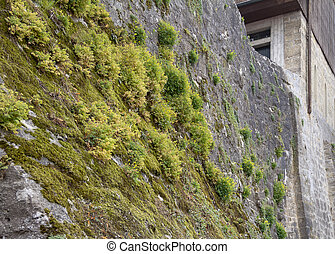 muur, overwoekerd, detail