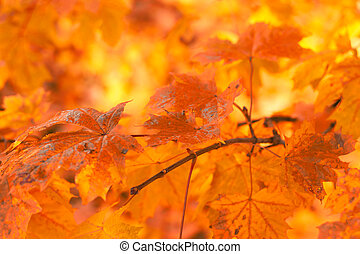 muy, hojas, enfoque poco profundo, otoño, plano de fondo, naranja
