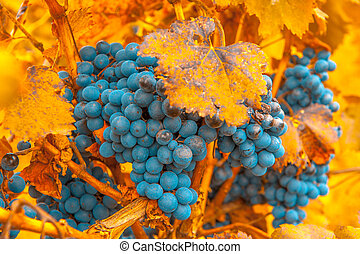 muy, uva, superficial, ramo, foco