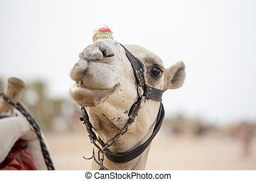 Muzzle camel in Sharm el Sheikh, Egypt. Animal in desert. -...