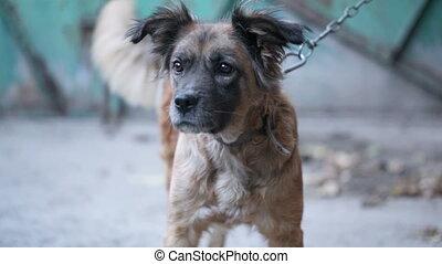 Muzzle dog - Guard dog on an iron chain