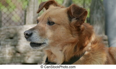 muzzle dog on chain - red brown dog muzzle is the largest in...