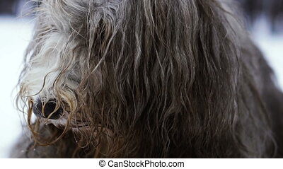 Muzzle dog with long hair