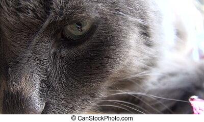 Muzzle gray cat