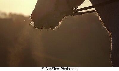 Muzzle horse closeup at sunset. Slow motion. Close up -...