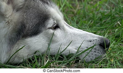 Muzzle of a Dog that Rests - Siberian Husky lies on green...