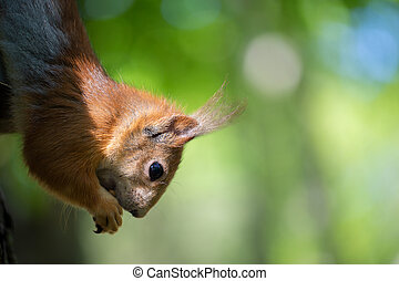Muzzle of a funny red squirrel close-up on a background of greenery.