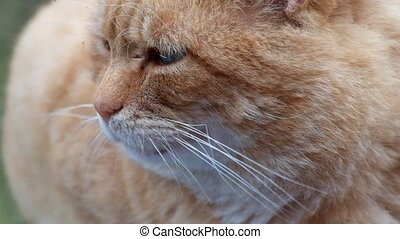 Muzzle of a ginger cat close-up