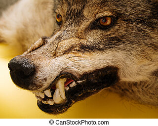 muzzle of a wolf over orange background