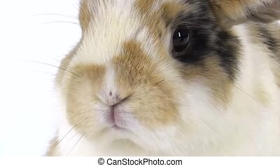 Muzzle of colored rabbit at white background at studio. Close up. Slow motion