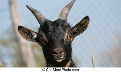 Muzzle of funny black young goat in the nature close up view...