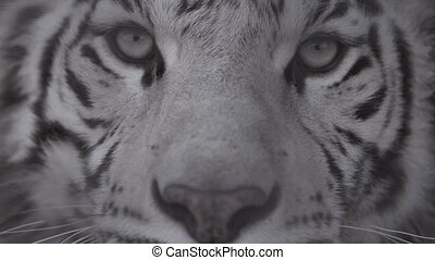 Muzzle of white tiger looking at you Eyes of the predator -...