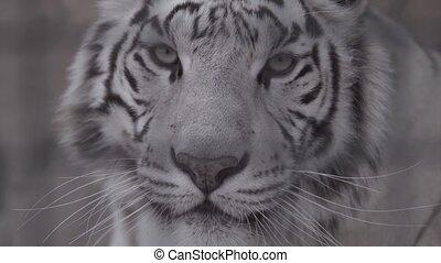 Muzzle of white tiger looking at you Macro shot
