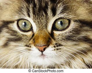 muzzle tabby kitten