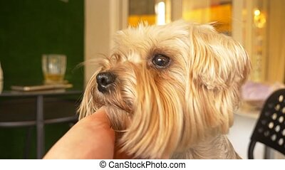 Muzzle Yorkshire terrier, close-up, brown eyes. - Muzzle...