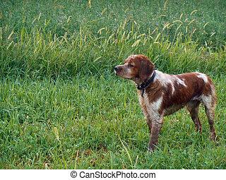 my dog - hunting dog outside