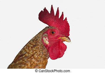 my rooster