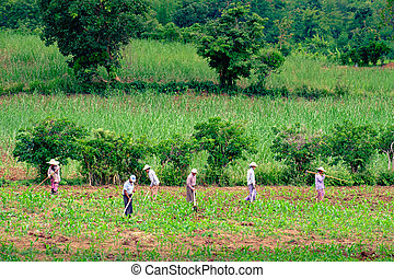 MYANMAR, 7 JULY 2015: Agricultural field and farmers working...