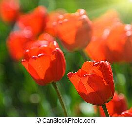 mycket, ytlig, röd, Tulpaner, fokusera