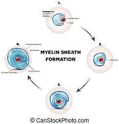 Myelin sheath formation detailed illustration, it surrounds...