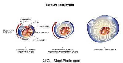 Myelin sheath of the neuron. A schwann cell envelops and...