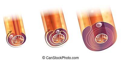 Myelination of nerve cell