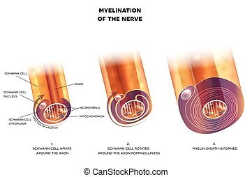 Myelination of nerve cell. Myelin sheath surrounds the axon...