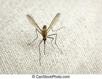 mygga, försökande, till bit