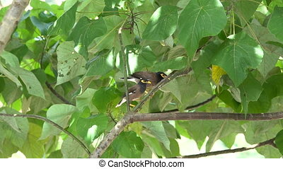 Myna birds resting on the tree branch