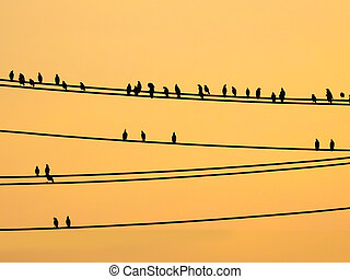 Mynas birds sitting on wires and sunset sky - Mynas birds...