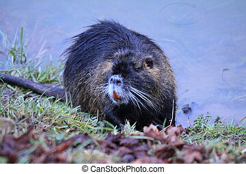 Myocastor coypus - Nutria (coypu) by the river